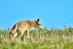 Kojot dostrzegał zdobycza zdjęcie royalty free