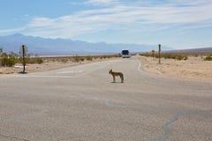 Kojot na drogowym rozdrożu Zdjęcia Stock