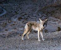Kojot na krawędzi falezy przy Śmiertelną doliną obraz stock