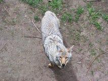Kojot od drzewnego stojaka Obraz Stock