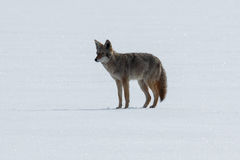 Kojot pozycja na śniegu Obrazy Royalty Free
