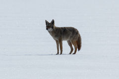 Kojot pozycja na śniegu Obraz Stock