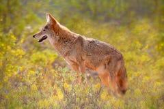 Kojot wśród Żółtych kwiatów Zdjęcie Stock