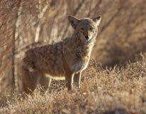 Kojot w głębokim muśnięciu przy Bosque Del Apache w Nowym - Mexico Zdjęcia Stock