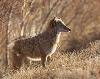 Kojot w głębokim muśnięciu przy Bosque Del Apache w Nowym - Mexico, backlig Zdjęcia Stock