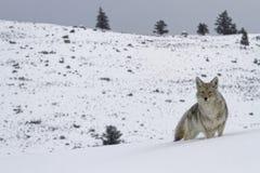 Kojot w krajobrazie Zdjęcia Royalty Free