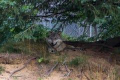 Kojot w lesie Kanada zdjęcie royalty free