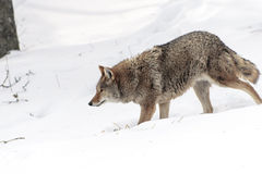 Kojot w śniegu Obrazy Royalty Free