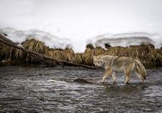 Kojot w wodzie przy śnieżną rzeką obrazy royalty free