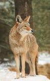 kojot wygląda właściwych śniegów stoi Obrazy Stock