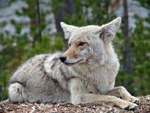 kojot Yellowstone Zdjęcie Royalty Free