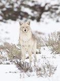 kojot zima Zdjęcie Stock