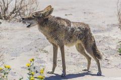 Kojota badyl na poboczu w pustynnym terenie zdjęcia stock