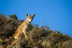 Kojota Canis latrans fotografia royalty free