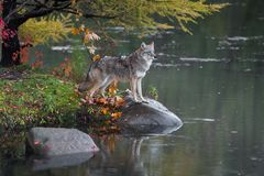 Kojota Canis latrans stojaki z łapami na skale obrazy stock