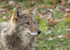 Kojota Canis samotni latrans stoi w trawiastym zieleni polu w jesieni w Kanada zdjęcie stock