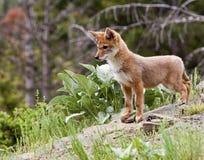 Kojota ciuci Canis latrans zdjęcie stock
