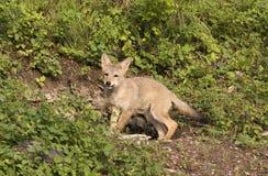 kojota meliny ciucia Zdjęcia Royalty Free