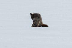 Kojota obsiadanie na śniegu Zdjęcia Royalty Free