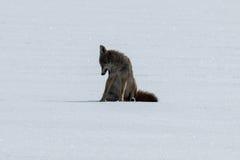 Kojota obsiadanie na śniegu Zdjęcie Royalty Free