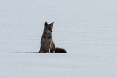 Kojota obsiadanie na śniegu Obraz Royalty Free