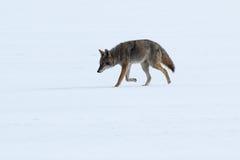 Kojota odprowadzenie na śniegu Zdjęcia Royalty Free
