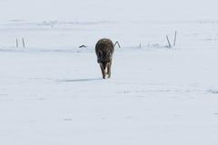Kojota odprowadzenie na śniegu Obraz Royalty Free