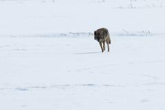Kojota odprowadzenie na śniegu Zdjęcie Royalty Free