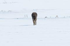 Kojota odprowadzenie na śniegu Obrazy Royalty Free