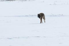 Kojota odprowadzenie na śniegu Obrazy Stock