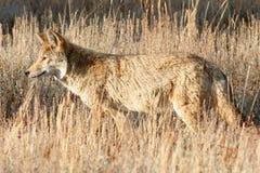 Kojota odprowadzenie w trawie Zdjęcia Royalty Free