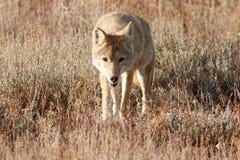 Kojota odprowadzenie w trawie Zdjęcia Stock
