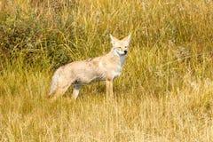 Kojota polowanie Zdjęcia Stock