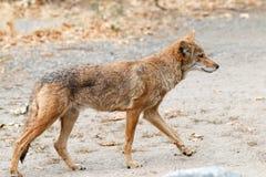Kojota polowanie Zdjęcie Stock
