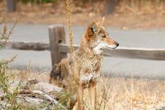 Kojota polowanie Zdjęcia Royalty Free