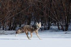 Kojota polowanie w śniegu Zdjęcia Stock