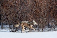 Kojota polowanie w śniegu Obraz Royalty Free