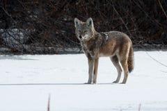 Kojota polowanie w śniegu Zdjęcie Royalty Free