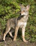 kojota portret Obraz Royalty Free