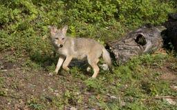 kojota szczeniak przygotowywający bieg Zdjęcie Stock