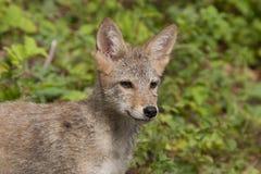 Kojota szczeniaka zakończenie up Zdjęcia Stock