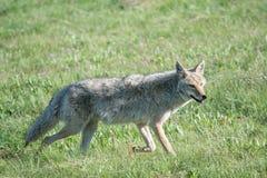 Kojota uśmiech Zdjęcia Royalty Free