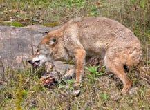 kojota zwłoki chronienie Fotografia Royalty Free