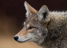 kojote Lizenzfreies Stockfoto