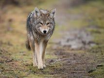 kojote Stockfoto