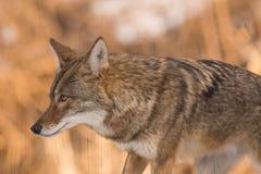kojote stockfotos