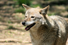 Kojote lizenzfreie stockfotos