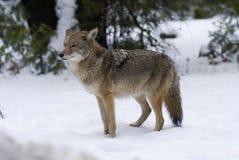 Kojote   lizenzfreies stockbild