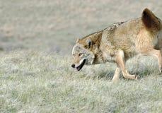 Kojote Stockbild