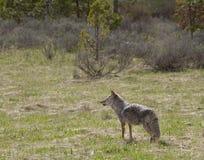 Kojote auf dem Ausblick Lizenzfreies Stockfoto